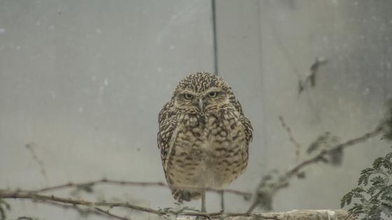 unamused owl